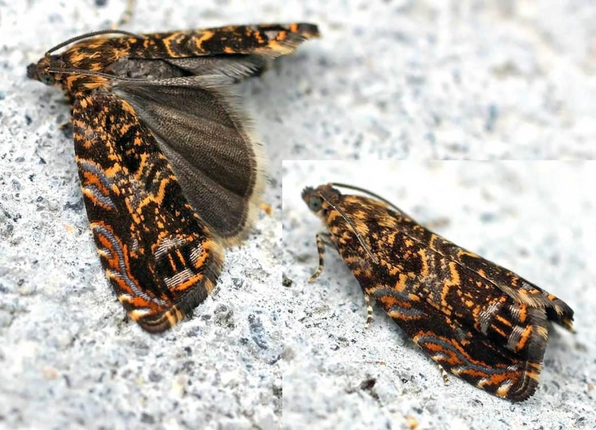 Cherry bark tortix moth