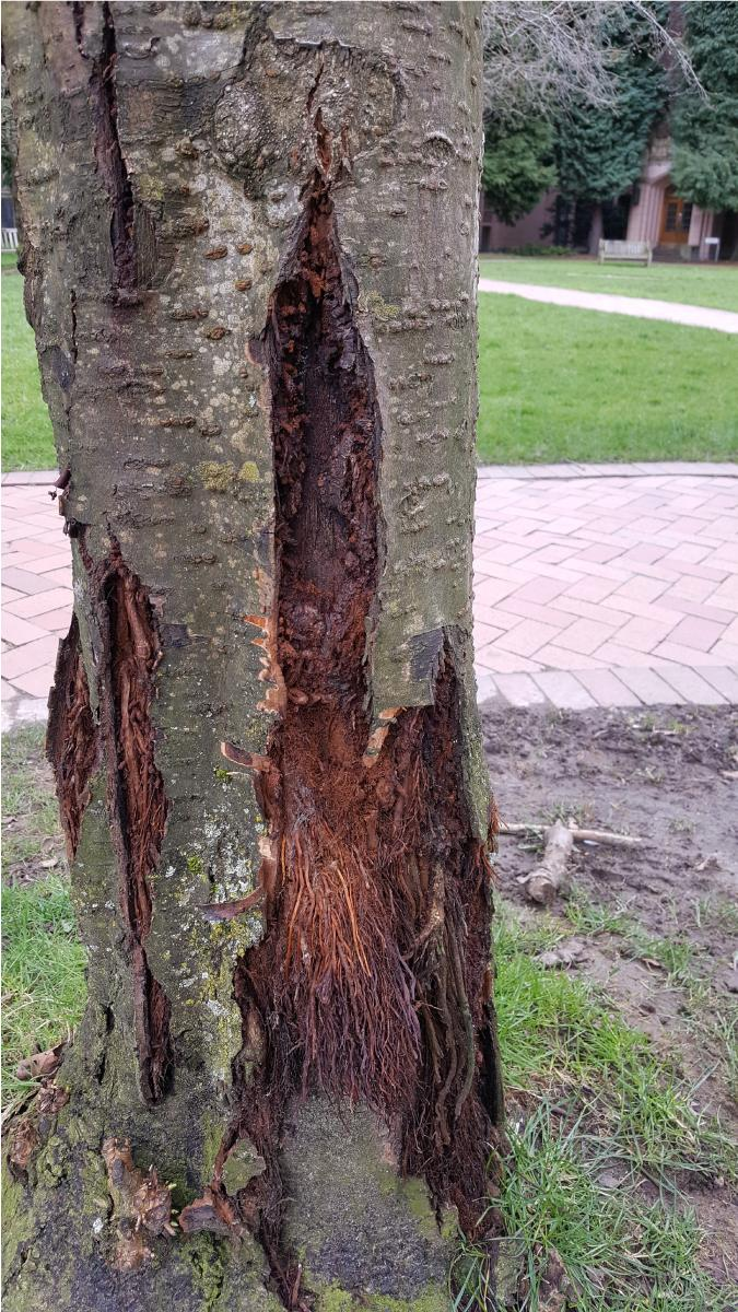 cherry tree with Tortrix moth damage