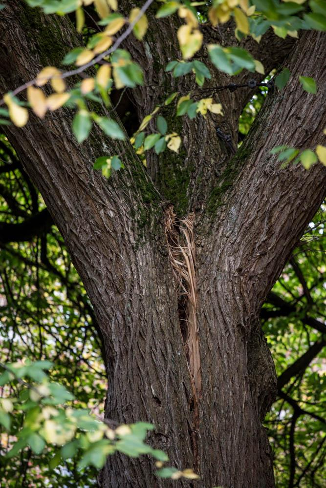 A close-up shot of the split between the two of the three major limbs of the George Washington Elm.