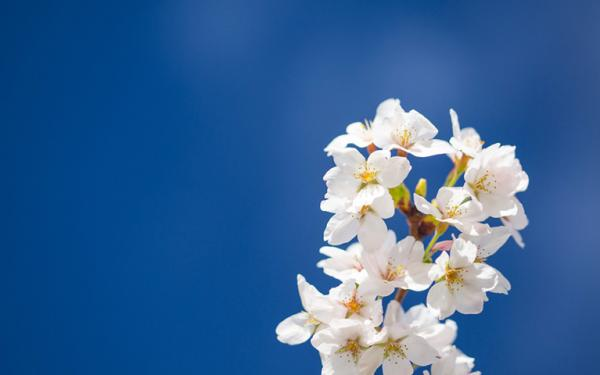 white cherry blossoms with dark blue sky in background