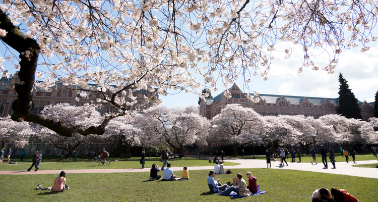 cherry trees in bloom in the quad